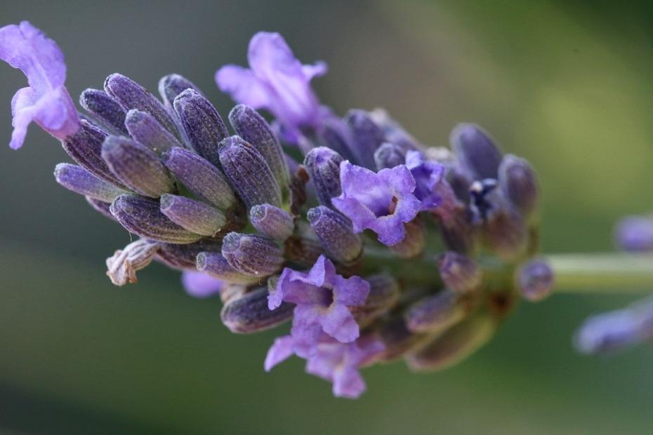 lavender-2489969_960_720